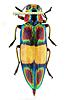 Click image for larger version.  Name:jewelbeetle1.jpg Views:30 Size:39.2 KB ID:7659