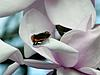 Click image for larger version.  Name:121 Butterfly on Magnolia, Savill Garden 23.3.15.jpg Views:71 Size:39.9 KB ID:7535